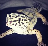 Female leopard gecko