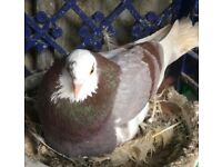 Mealy roller pigeon for sale