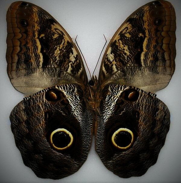 Amazing Placid Giant Owl Butterfly Caligo placidianus Folded FAST FROM USA