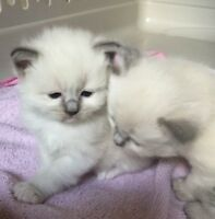 Ragdoll male blue point Mitted. One left!