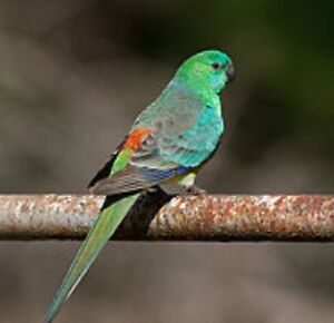 Grass parrot red rump unrelated pairs and spares Riverstone Blacktown Area Preview