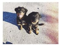 BABY BOY ROTTWEILER FOR SALE!
