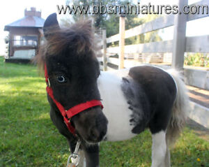 Micro cheval miniature enr.idéal pour la zoothérapie/pet therapy