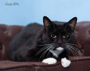AC0196: Katia - CAT for ADOPTION - Vet work included Rockingham Rockingham Area Preview