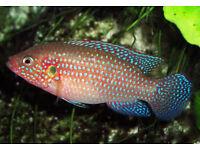 blue jewel cichlids