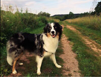 Wanted: Daytime Dog Walker for Adorable Blue Merle Aussie Girl