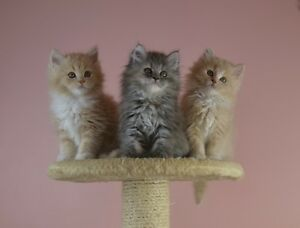 Hypoallergenic Purebred Siberian kittens