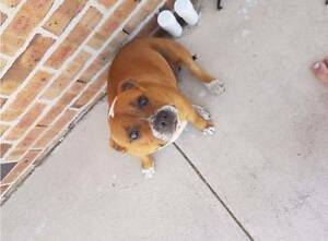 FEMALE ENGLISH STAFFORDSHIRE BULL TERRIER Maitland Maitland Area Preview