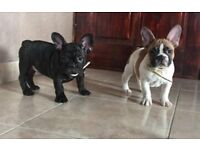 KC Reg French Bulldog Puppies for Sale!