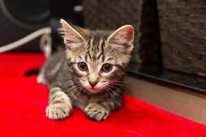 Jumpy RESCUE kittens available for ADOPTION vet work INC Baldivis Rockingham Area Preview