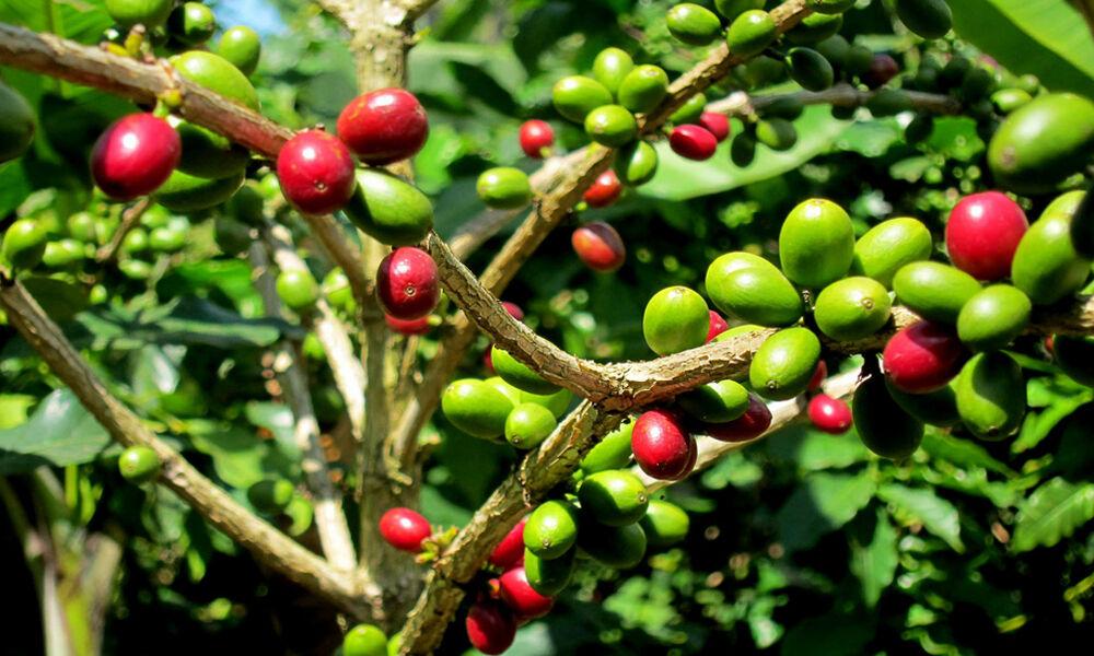 PIANTA DEL CAFFE' NR.7 SEMI OFFERTA SEMPREVERDE COFFEE SEMENTI  AROMATICHE