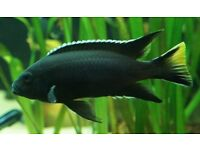 5 yellow tail and white back Black acei cichlid tropical live fish about 2.5 inches each