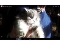 Beautiful female Persian kitten