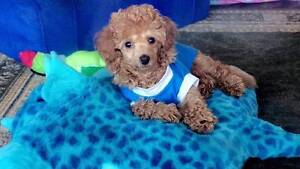 Toy Poodle Puppies Purebred Glass House Mountains Caloundra Area Preview