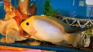 Swap for dragon blood male or benga male or similar or other fish