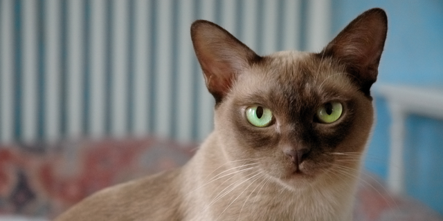 Want To Buy Burmese Adult Cat Gumtree Australia Melbourne City