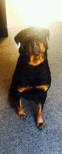 Wanted  Male German Rottweiler Pup