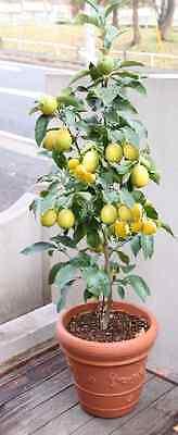 Zitronenbaum Citrus Pflanze Zimmerpalme für das Büro Büropflanze mediterran groß ()
