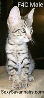 Gorgeous F4 Male Savannah Kitten!