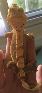 Beautiful crested gecko with complete set up London Ontario image 1