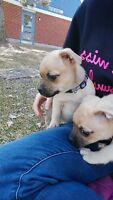 2 jack/pug puppies for sale