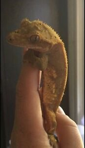 Beautiful crested gecko with complete set up London Ontario image 2