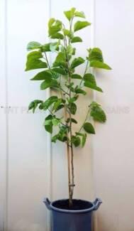 Semi Mature White Mulberry & Ice Cream Bean Fruit Trees Plant