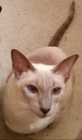 Lost cat siamese female. Chatte siamoise perdue. Chat siamois.