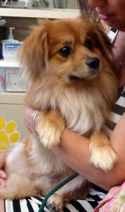 King charles cavalier cross Pomeranian (cavapom) wanted Balwyn North Boroondara Area Preview