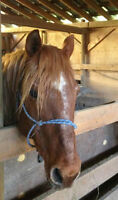 Paso Fino x QH mare needs a companion home