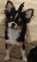 EXQUISITE SPAYED FEMALE LONG COAT BLACK TRI CHIHUAHUA