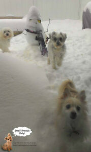 *FULL XMAS & NYE* CAGE FREE FUN SITTING FOR SMALL DOGS West Island Greater Montréal image 1