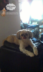 Home boarding/daycare small dogs since 2010 by certified trainer West Island Greater Montréal image 1