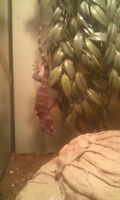 Ball Python and Tokay Gecko For Sale