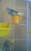 Fancy Parakeet, cage, and accessories