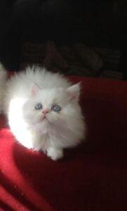 WHITE PERSIAN KITTEN WITH BLUE EYES