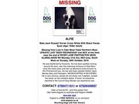Alfie 12 Jack Russell missing from Sale