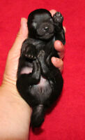 Pomeranian Puppies(Gorgeous Black And Black/Tan)