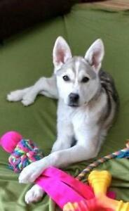 "Young Female Dog - Husky: ""Daisy Mae"""