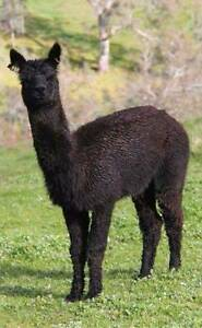 ALPACA STUD MALE AVAILABLE FOR SERVICE Mount Barker Area Preview