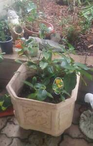 LIME AND LEMON TREES IN POTS $80each Langford Gosnells Area Preview