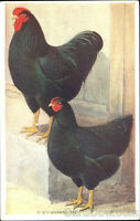 Black Wyandotte: Chickens/chicks/eggs/rooster - WANTED