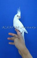 Tamed, Handfed, Young Albino Cockatiels for Sale As Pet