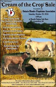 Blonde d'Aquitaine Bulls, Cows, & Heifers