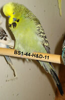 Top Quality English Budgies - $40 and up