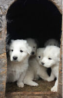 GREAT PYRENEES MOUNTAIN DOGS 1 MALE  2 FEMALES LEFT