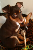Pure Bred Colorful Chihuahua Puppies