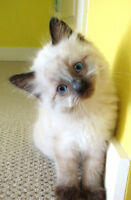 Ragdoll kittens are ready for their new homes