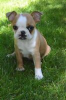 Boston Terrier Puppies planned for this fall