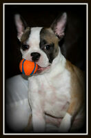 Looking for loving forever guardian home for Boston Terrier F